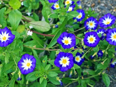 Convolvulus tricolor 'Blue Ensign' AGM - medium image 1