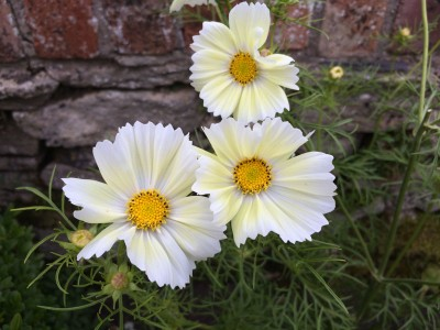Cosmos bipinnatus 'Lemonade' - medium image 1