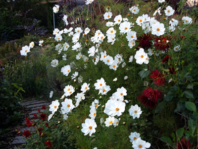 Cosmos bipinnatus 'Purity' - medium image 1