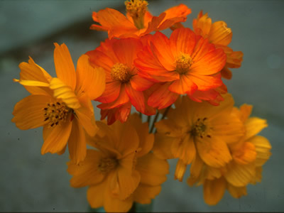 Cosmos sulphureus 'Bright Lights' - medium image 1