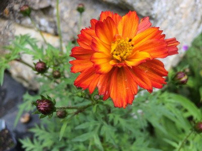 Cosmos sulphureus 'Cosmic Red' - medium image 1