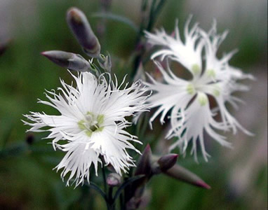 Dianthus arenarius nanus 'Little Maiden' - medium image 1