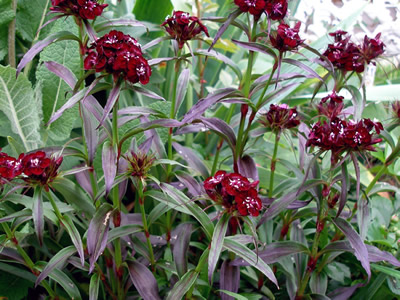 Dianthus barbatus 'Black Adder' - medium image 1