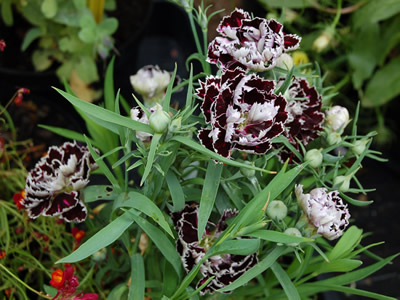 Dianthus chinensis 'Black and White' - medium image 1