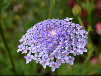Didiscus coerulea 'Blue Lace' - medium image 1