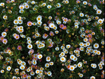 Erigeron karvinskianus - medium image 1
