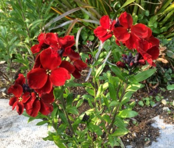 Erysimum 'Blood Red' - medium image 1