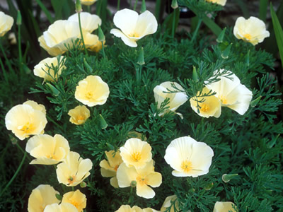 Eschscholzia californica 'Alba' - medium image 1