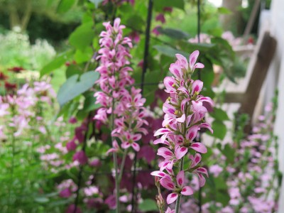 Francoa sonchifolia 'Pink Giant' - medium image 1