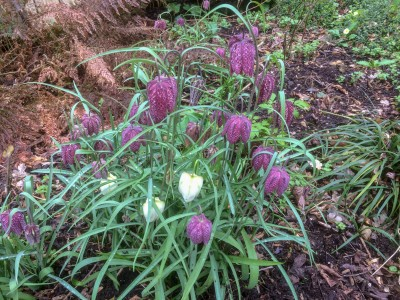 Fritillaria meleagris - medium image 1