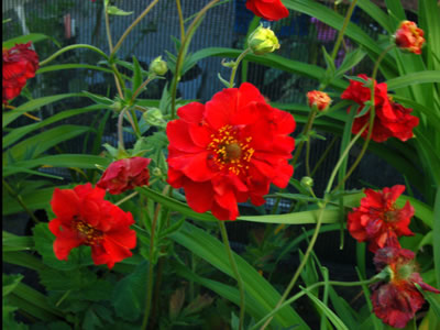 Geum 'Blazing Sunset' - medium image 1