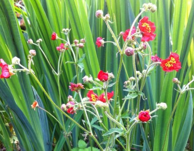Geum magellanicum - medium image 1