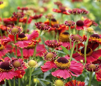 Helenium autumnale 'Helena Red Shades' - medium image 1