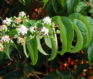 Heptacodium miconioides AGM - medium image 1