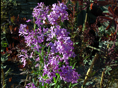 Hesperis matronalis - medium image 1