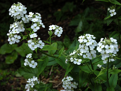 Hesperis matronalis 'Alba' - medium image 1