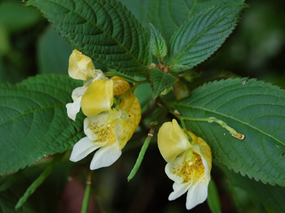 Impatiens scabrida - medium image 1