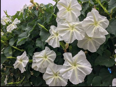 Ipomoea alba - medium image 1