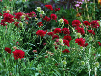 Knautia macedonica - medium image 1