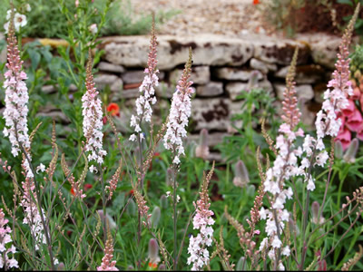 Linaria purpurea 'Canon Went' - medium image 1