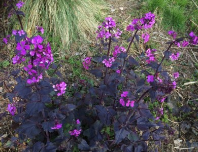 Lunaria annua 'Chedglow' - medium image 1