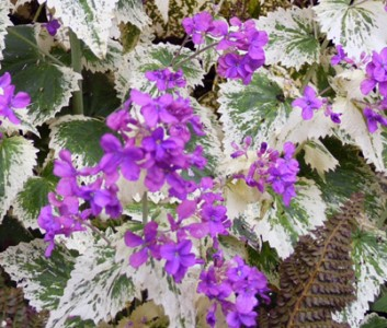 Lunaria annua 'Variegata' purple flowered - medium image 1