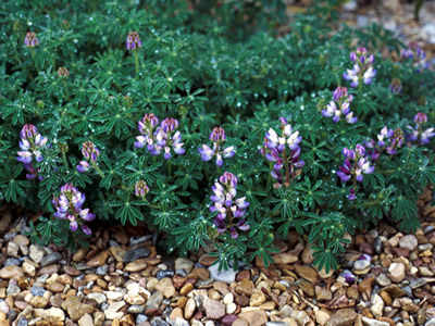 Lupinus chamissonis - medium image 1