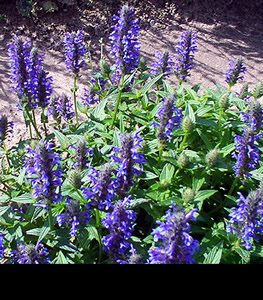 Nepeta nervosa 'Blue Carpet' - medium image 1