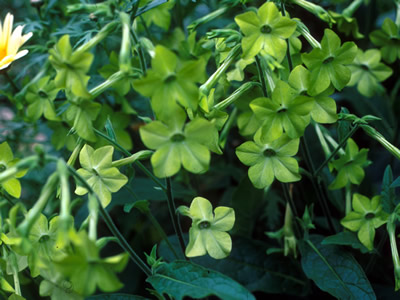 Nicotiana alata 'Lime Green' - medium image 1