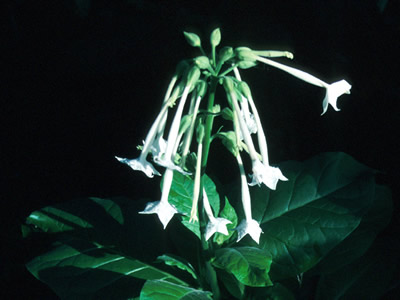 Nicotiana sylvestris - medium image 1