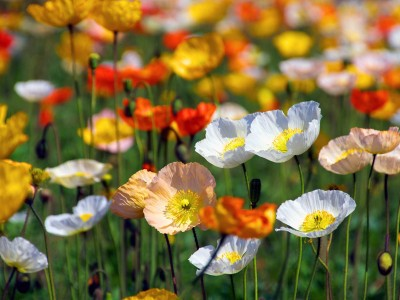 Papaver nudicaule Deluxe Mix - medium image 1