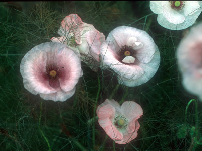 Papaver rhoeas 'Mother of Pearl' - medium image 1