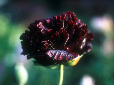 Papaver somniferum 'Black Beauty' - medium image 1
