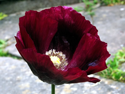 Papaver somniferum 'Laurens Grape' - medium image 1