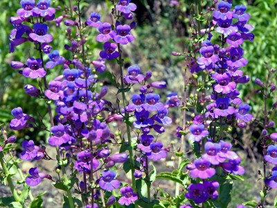 Penstemon spectabalis - medium image 1