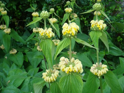 Phlomis russeliana - medium image 1