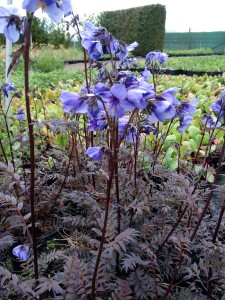 Polemonium yezoense 'Purple Rain' - medium image 1