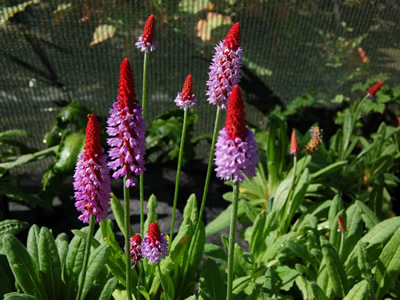 Primula vialii - medium image 1