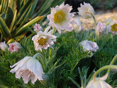 Pulsatilla vulgaris 'Papageno' - medium image 1