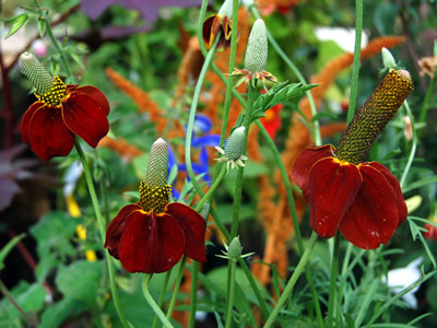 Ratibida columnifera 'Red Midget' - medium image 1