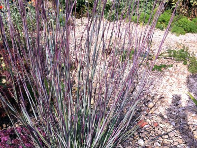 Schizachrium scoparium 'Prairie Blues' - medium image 1