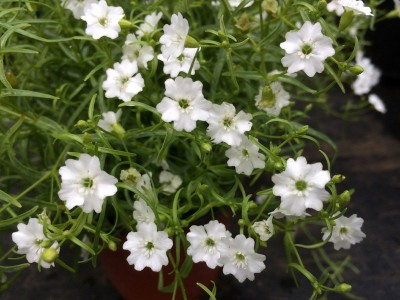 Silene pusilla - medium image 1