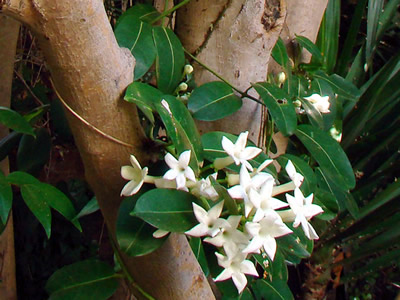 Stephanotis floribunda - medium image 1