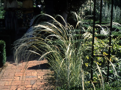 Stipa barbata - medium image 1