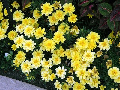 Tagetes 'Alumia Vanilla Cream' - medium image 1
