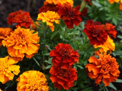 Tagetes 'Fireball' - medium image 1