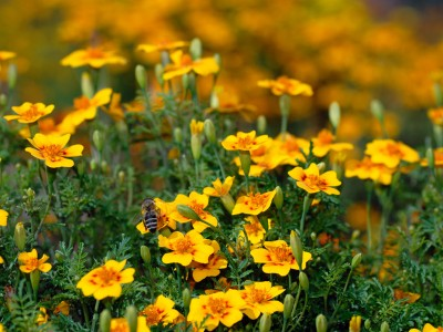 Tagetes lucida - medium image 1