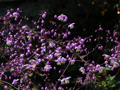 Thalictrum delavayi - medium image 1
