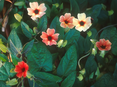 Thunbergia alata 'African Sunset' - medium image 1