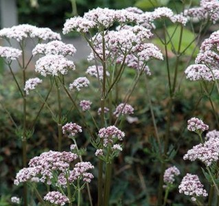 Valeriana officinalis - medium image 1